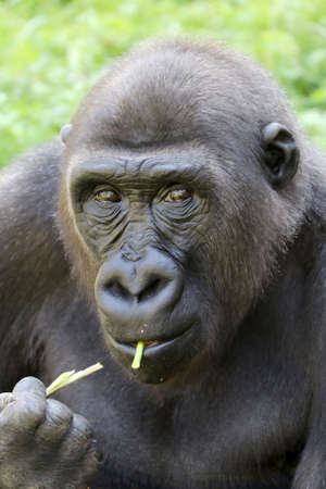 Western Lowland Gorilla eating plant stems