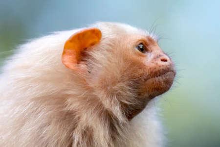 silvery marmoset monkey, close up shot