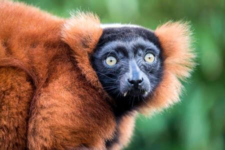 red ruffed lemur looking at camera