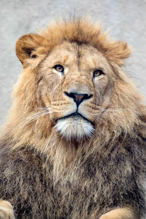 close up shot of a young male Lion Standard-Bild
