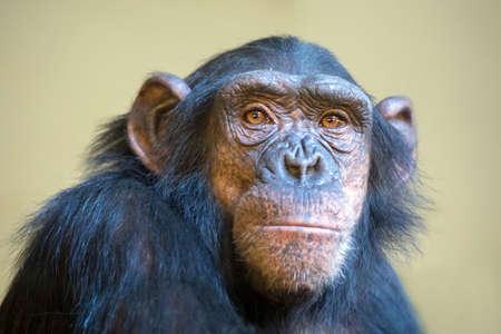 close up shot of chimpanzee head