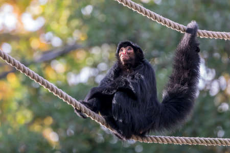red-faced spider monkey on ropes with greenery on background
