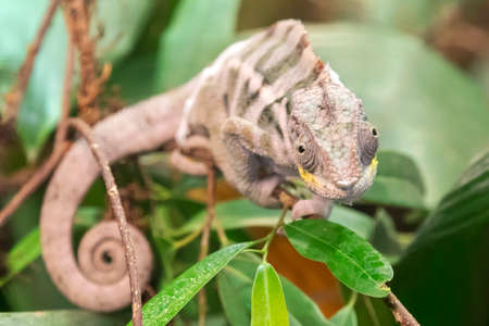 panther chameleon on plant with lush green leaves