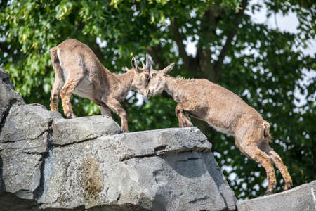 two Alpine ibex fighting with horns on rock in sunlight