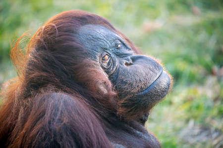 Portrait of Bornean Orangutan in wild nature