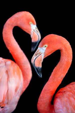 close up of couple flamingo in wild nature