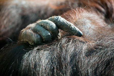 Closeup of Bornean Orangutan hands