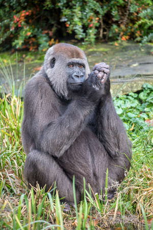 Western Lowland female gorilla