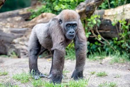 Young female Western Lowland Gorilla (Gorilla Gorilla Gorilla)