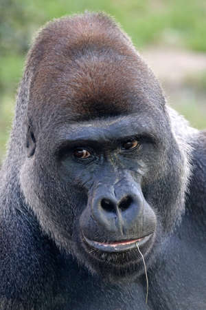 Closeup of Western Lowland Gorilla