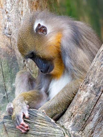 portrait of Sleepy Mandrill male in wild Stockfoto