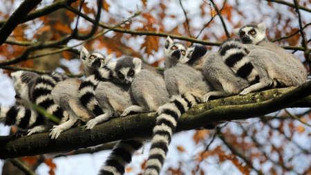 Ring Tailed Lemurs on tree