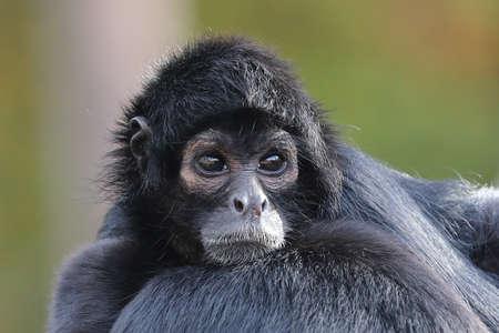 closeup portrait of Spider monkey Stockfoto