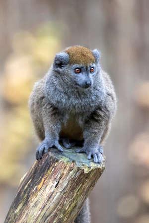 Lac Alaotra bamboo lemur (Hapalemur alaotrensis) Reklamní fotografie