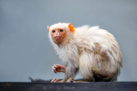 portrait of a silvery marmoset in natural habitat