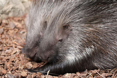 African Crested Porcupines, Hystrix cristata