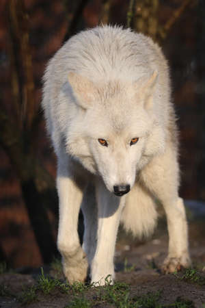 White Hudson Bay wolf (Canis lupus hudsonicus) beautiful view