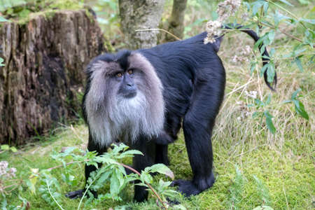 closeup view of lion-tailed macaque or the wanderoo