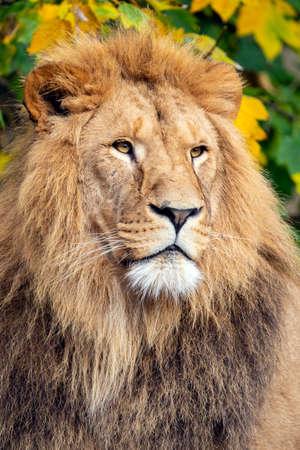 Lion (panthera Leo), close up portrait of a male lion