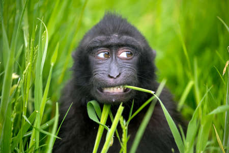 Crested Macaque baby (Macaca Nigra)