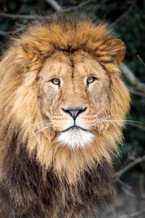 A Male Lion (Panthera Leo)