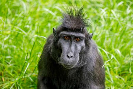 Crested Macaque (Macaca Nigra) adult 写真素材