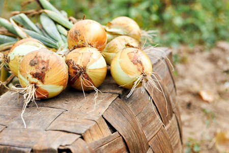 Fresh harvest of organic onions in a rustic field. Banque d'images