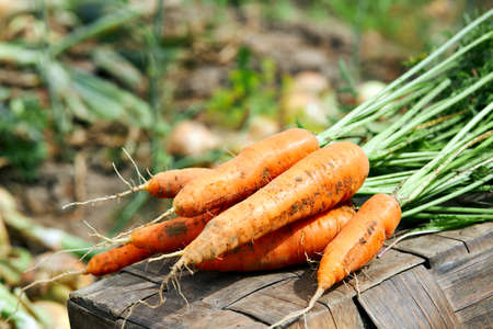 Fresh harvest of carrots in a rustic field. Organic harvest. Banque d'images