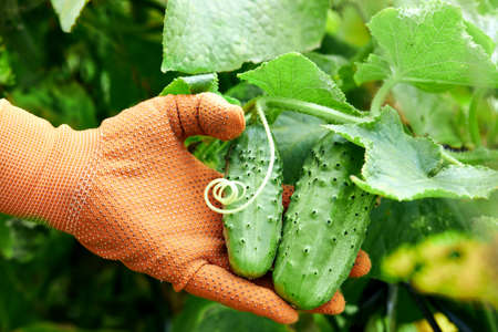 Fresh cucumbers in the hands of a farmer. Organic crop in a farm field. Banque d'images