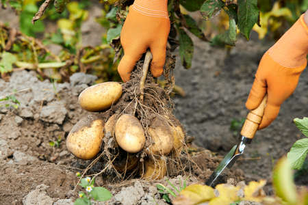 The farmer is holding a harvest of organic potatoes. Vegetable with tubers on the background of the field. Banque d'images