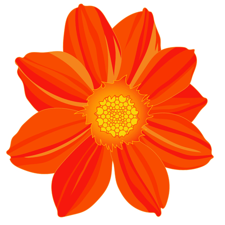 Cosmos flower, isolated on white background. Floral clipart design. Hand drawn vector illustration.