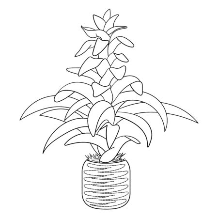 Coloring page. Guzmania flower, exotic house plant in a pot. Colouring picture. Design for adult and kids coloring book.