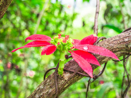 Poinsettia leaves, bracts, and flowers in Thailand.