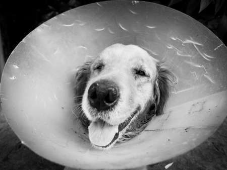 agape: Dog (Golden, Retriever) is agape and tongue-tied with funnel.Black and white style