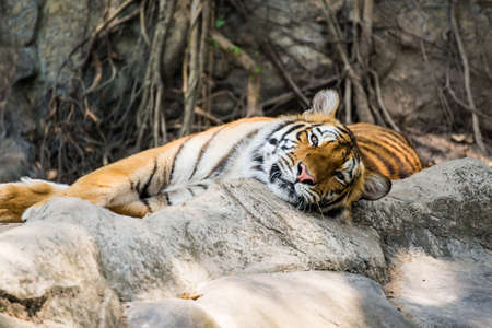 Tiger is lying on the rock photo
