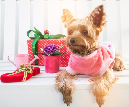 christmas gift: Small cute funny Yorkshire Terrier puppy dog in a Christmas in white wood table. Stock Photo