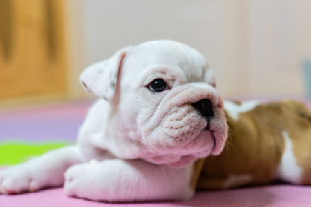 English bulldog lying on color background. Close-up photo.white puppy sleeping .