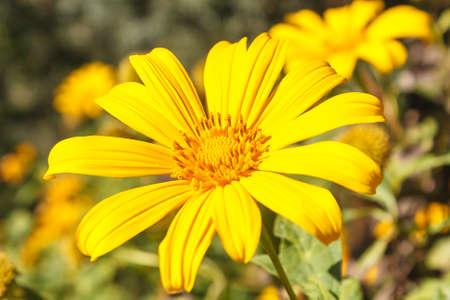 tree marigold: Tree marigold with green bokeh background. Stock Photo