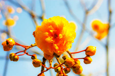 cotton flower: Yellow cotton flower with blue sky background. Stock Photo