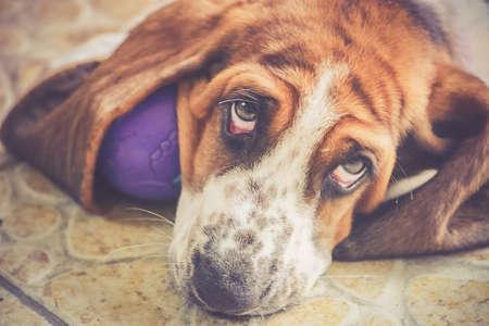 breastfeed: English basset hound dog lover. Foto de archivo