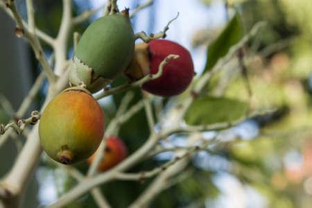areca: Areca or betel palm nut in nature. Stock Photo