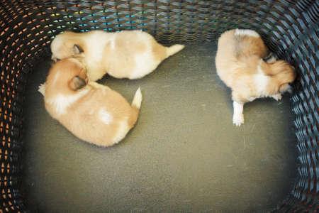 breastfeed: Breeder Chihuahua Puppy Dog On Cushion.