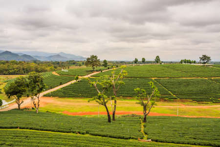 chan: Choui Fong Tea Plantation At Mae Chan District Chiang Rai Province Thailand.