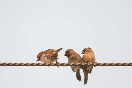 swain: Three Ricebird Is Resting Standing On The Wire At White Backdrop. Stock Photo