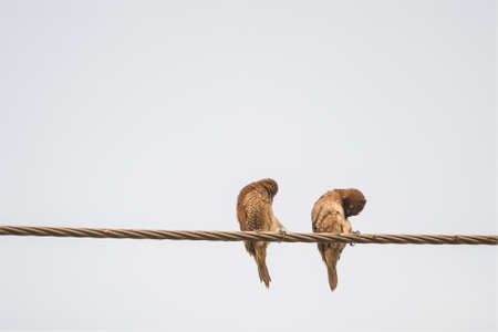 swain: Two Ricebird Is Resting Standing On The Wire At White Backdrop. Stock Photo