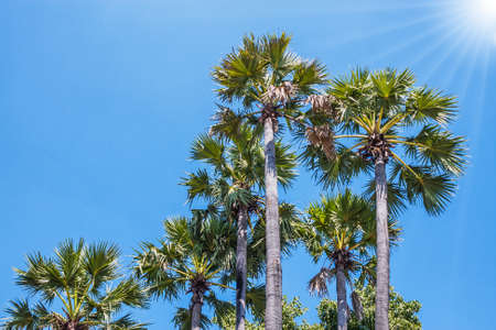 sugar palm: Group Of Sugar Palm Tree At Blue Sky Background.