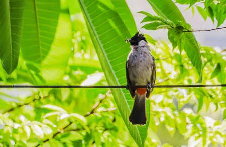 flapper: Hollín-Headed Bulbul (Pycnonotus aurigaster) perca en el alambre.