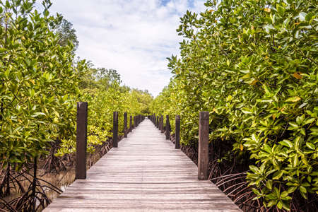 brackish water: Wooden Trail Walkway Mangroves Tree Or Shrub That Grows In Chiefly Tropical Coastal Swamps That Are Flooded At High Tide In Prasae Rayong Province Thailand.