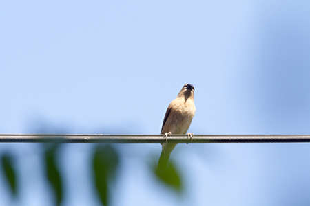 swain: Ricebird Is Resting Standing On The Wire At Blue Sky Background.