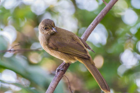 Streak-Eared Bulbul (Pycnonotus blanfordi) Perch On The Tree. Stock Photo